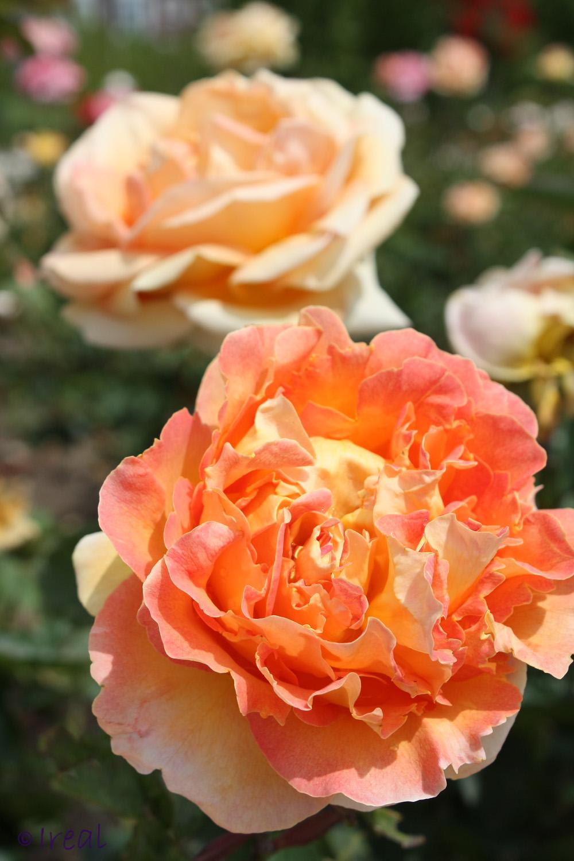 rosas rojas de isabel