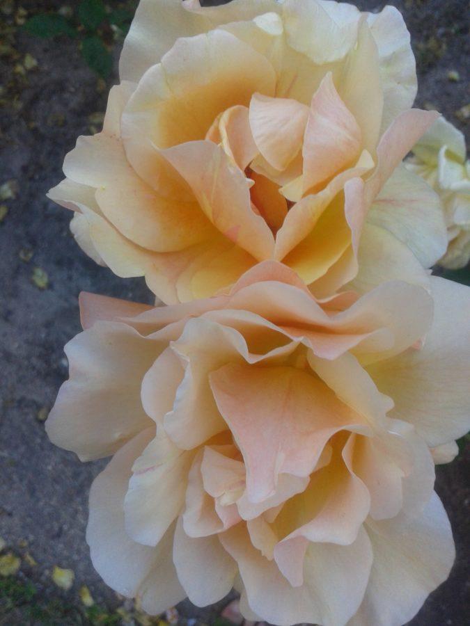 dos rosas preciosas